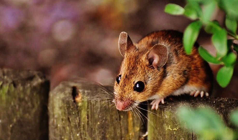 Muizenplaag huis