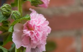 stokroos roze