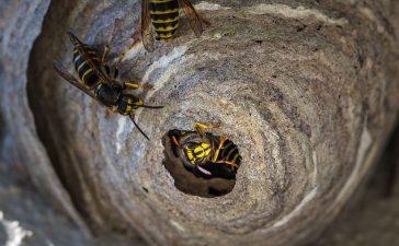 waarom snel wespennest verwijderen